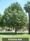 More about Arizona Ash