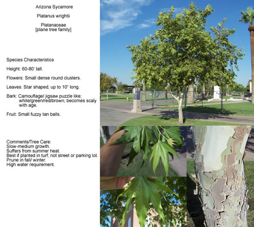 Parks And Recreation A Guide To Trees In Phoenix