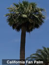 California Fan Palm