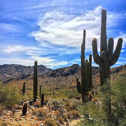 Saguaros in the Phoenix Mountain Preserve