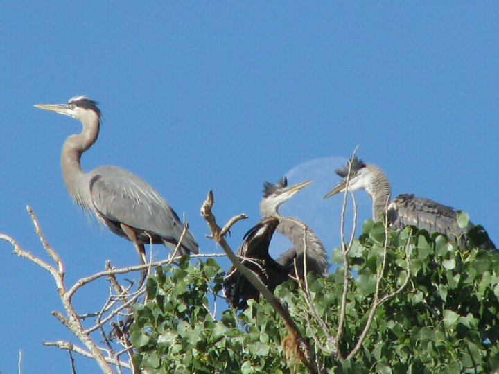 Herons at top of tree